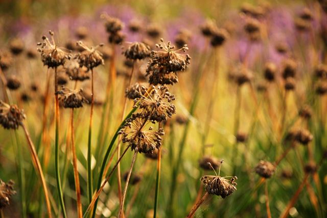 Perennial seed heads Lisa Cox Garden Designs