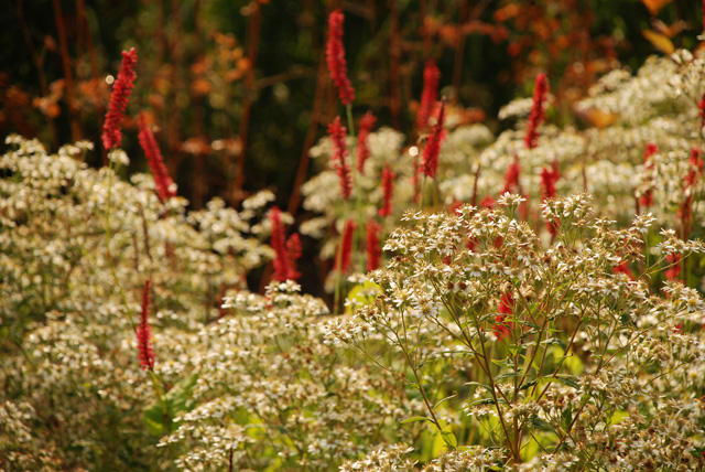 Persicaria planting Lisa Cox Garden Designs