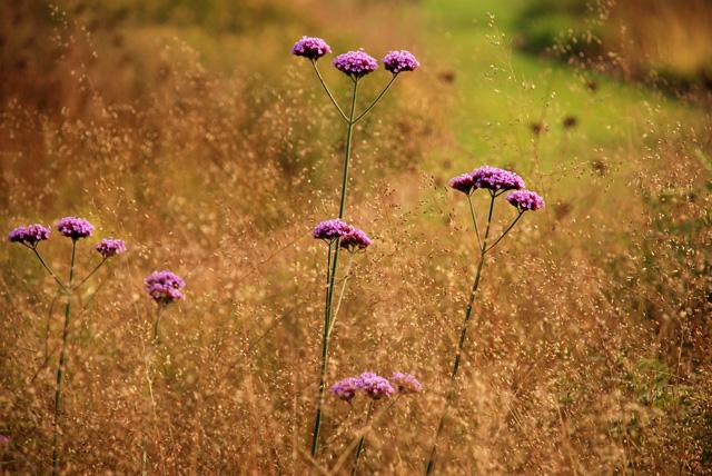 Verbena bonariensis Lisa Cox Garden Designs