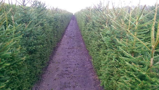Christmas Tree hedges at Quick Hedge Holland Lisa Cox Garden Designs