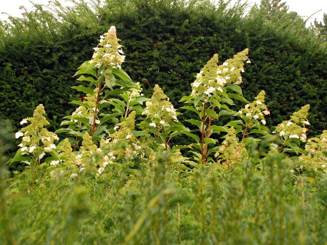 Hydrangea paniculata Thames Barrier Park Lisa Cox Designs - Copy