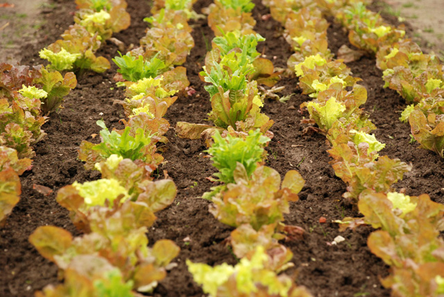 Lettuces in kitchen garden at Hotel Villa Augustus Lisa Cox Designs