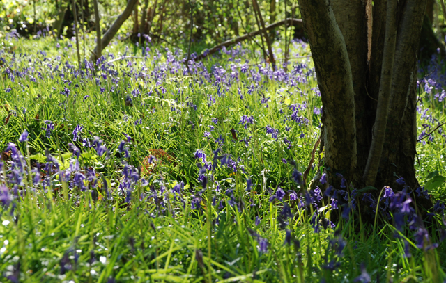 Bluebell wood in Monmouthshire Lisa Cox Garden Designs