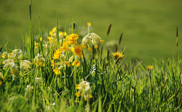 Cowslips in Kilgwrrwg Lisa Cox Garden Designs