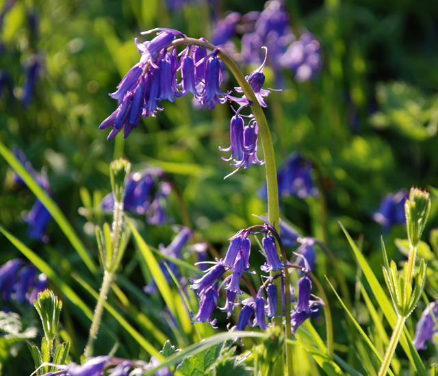 Early bluebell in the grass verge Lisa Cox Garden Designs