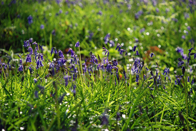 Eary bluebells in Wales Lisa Cox Garden Designs