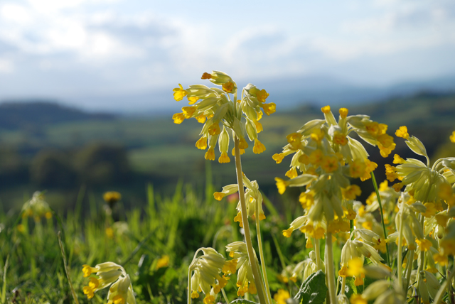 Wild cowslips in my garden Lisa Cox Garden Designs