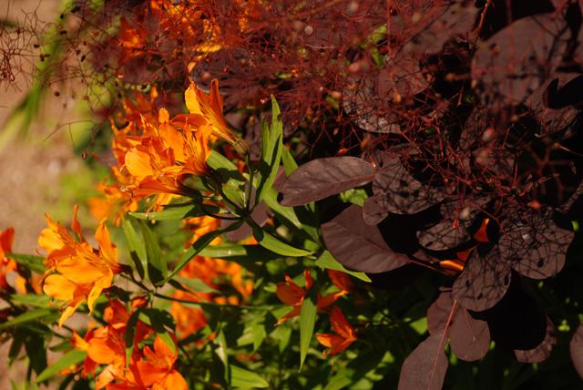 Orange alstromeria with cotinus Lisa Cox Garden Designs