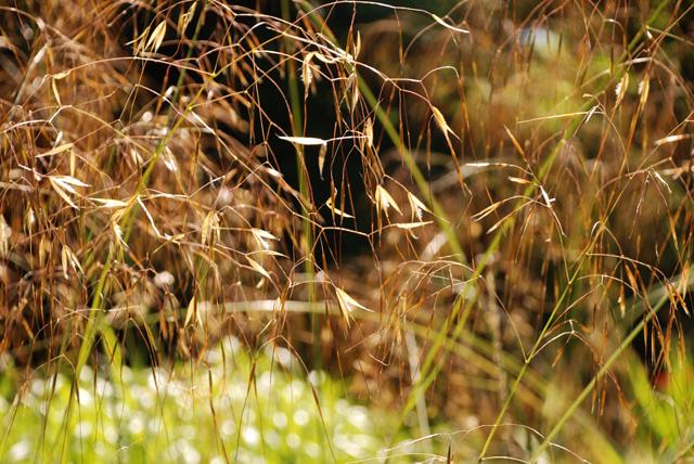 Stipa gigantea flowerheads Lisa Cox Garden Designs