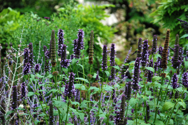 Agastache at Iford Manor Lisa Cox Garden Designs