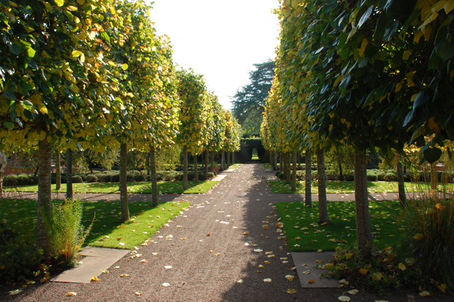 Autumnal pleached lime trees at Hampton Court Castle Lisa Cox