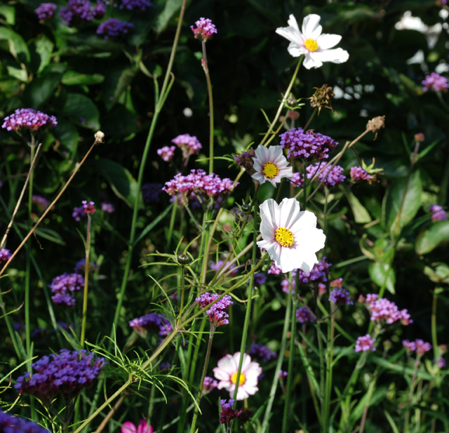 Cosmos and verbena bonariensis Lisa Cox
