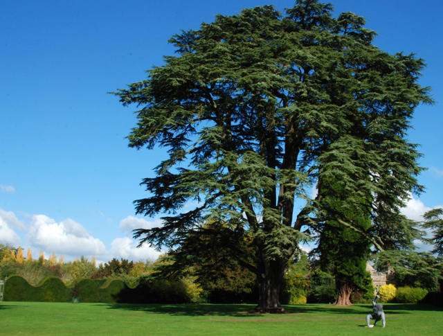 Majestic Cedar at Hampton Court Castle Lisa Cox