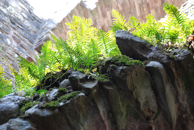 Ferns at Raglan Castle Lisa Cox Designs