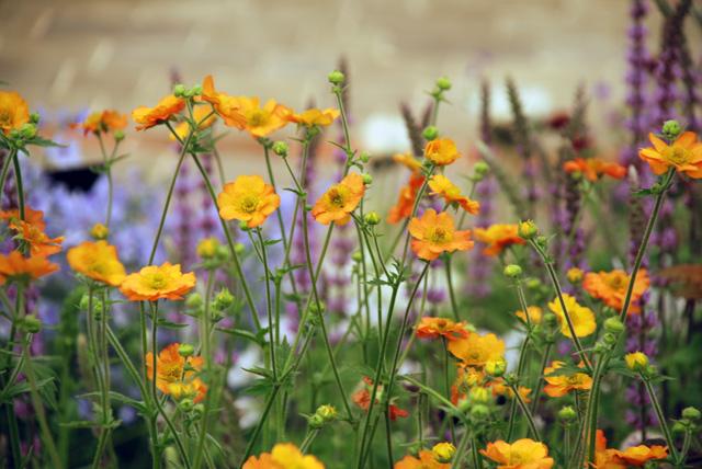 Geum in floral Marquee RHS Chelsea 2016 Lisa Cox