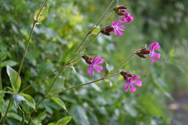 Red campion in our lane Lisa Cox Garden Designs