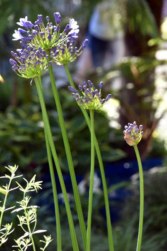 Agapanthus The Bowel Disease UK Summer Garden RHS Hampton 2016 Lisa Cox