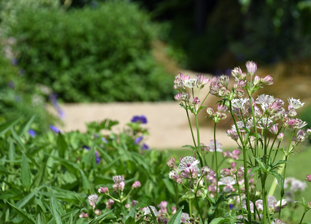 Astrantia Lisa Cox garden designs
