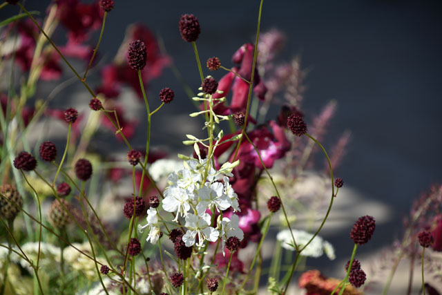 Sanguisorba RHS Hampton 2016 Lisa Cox