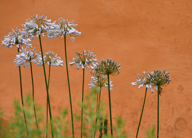 Agapanthus against terracotta wall Allt-y-bela Lisa Cox