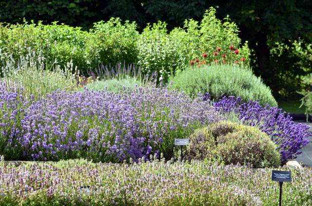 Lavender at Jekka's Herb Farm Lisa Cox Garden Designs