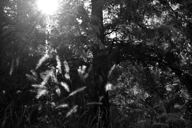 pennisetum-jubilee-park-lisa-cox-garden-designs