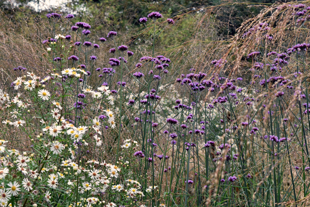 verbena-aster-at-barn-house-garden-lisa-cox